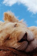 Lion sleeping, blue sky