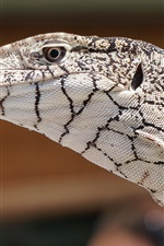 Preview iPhone wallpaper Lizard, animal close-up, head, eye