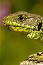 Preview iPhone wallpaper Lizard, stone, green background