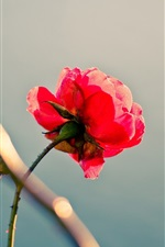 Preview iPhone wallpaper Lonely red rose, stem