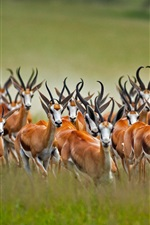 Preview iPhone wallpaper Many antelope jumping, Africa