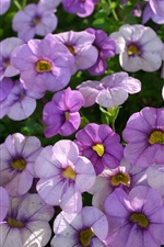 Preview iPhone wallpaper Many light purple petunias flowers