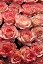 Many pink roses, flowers background