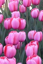 Aperçu iPhone fond d'écranBeaucoup de fleurs de tulipes roses, jardin