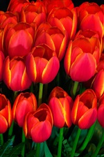 Preview iPhone wallpaper Many red tulips, darkness