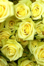 Preview iPhone wallpaper Many yellow roses, water drops