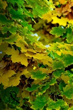 Maple leaves tree, green and yellow, autumn