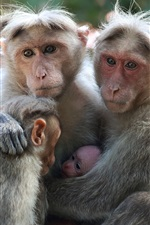 Preview iPhone wallpaper Monkey, family