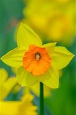 iPhone обои Нарцисс цветок макро фотографии, лепестки, боке