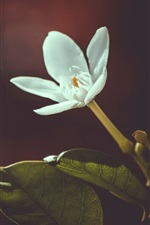 Один белый цветок, боке