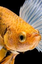 Preview iPhone wallpaper Orange fish
