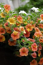 Preview iPhone wallpaper Orange petunias flowers