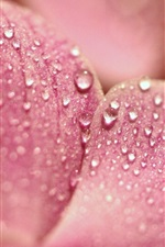 Preview iPhone wallpaper Orchid pink petals macro photography, water drops