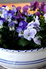 Pansies flowers, bowl
