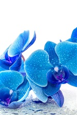 Preview iPhone wallpaper Phalaenopsis, blue flowers, water drops, white background