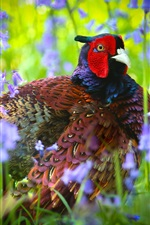 Preview iPhone wallpaper Pheasant, bird, flowers