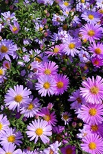 Preview iPhone wallpaper Pink aster flowers