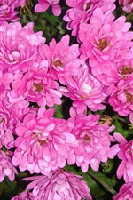 Preview iPhone wallpaper Pink chrysanthemum, flowers, water drops