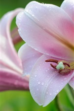 Preview iPhone wallpaper Pink lily close-up, petals, water drops