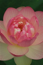 Preview iPhone wallpaper Pink lotus, water drops, dark
