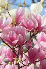 iPhone壁紙のプレビュー ピンクのマグノリアの花が咲き誇り、美しい