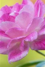 iPhone fondos de pantalla Pétalos de rosa flor fotografía macro, hojas