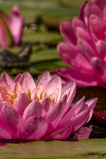Preview iPhone wallpaper Pink water lily flowering, pond