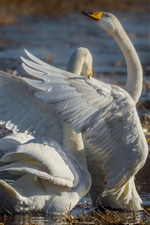Preview iPhone wallpaper Pond, two white swans, couple