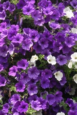 Preview iPhone wallpaper Purple and white petunias flowers