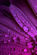 Preview iPhone wallpaper Purple gerbera, water drops, petals
