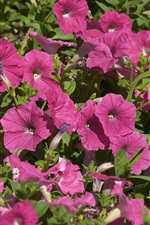 Preview iPhone wallpaper Purple petunias flowers in sunshine