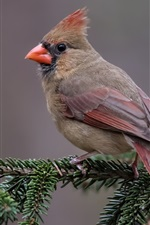 Preview iPhone wallpaper Red cardinal bird, pine twigs