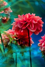 Preview iPhone wallpaper Red dahlias, flowers, blurry background