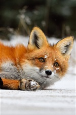 Preview iPhone wallpaper Red fox lying on snow