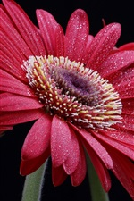 Preview iPhone wallpaper Red gerbera flowers, water drops