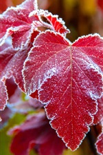 Red leaves, frost, cold