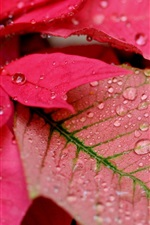 Preview iPhone wallpaper Red leaves, water drops, macro photography