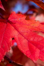 Preview iPhone wallpaper Red maple leaf close-up, autumn