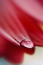 Red petals, one water drop, macro photography