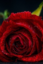 Red rose close-up, water drops, bokeh
