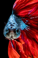 Preview iPhone wallpaper Red tail fish