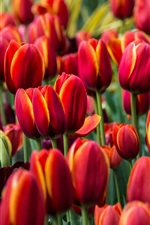 Preview iPhone wallpaper Red tulips, flowers field