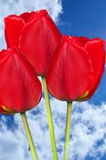 Red tulips, sky, clouds, sun