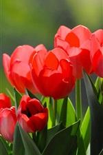 Rote Tulpen, unter Sonne