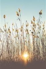 Preview iPhone wallpaper Reeds, grass, sunset, summer