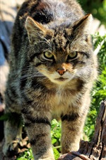 Preview iPhone wallpaper Scottish Wildcat, sunshine