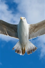 Seagull flight, wings, feathers, bottom view, sky, clouds