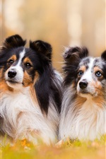 Preview iPhone wallpaper Shetland Sheepdog, two dogs, bokeh