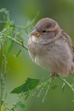 Preview iPhone wallpaper Sparrow, grass