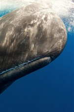 Preview iPhone wallpaper Sperm whale, underwater, sea